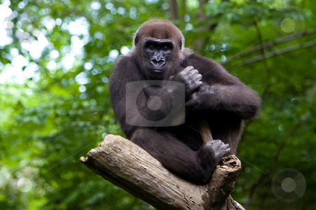 Gorilla in a tree stock photo, A Gorilla sleeping in a tree top. by Paul Hakimata