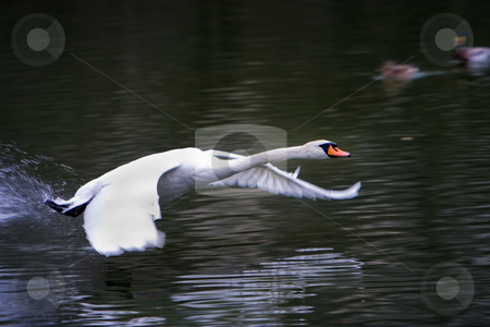 Flying Swan stock photo, Swan flying over the surface of a lake by Paul Hakimata