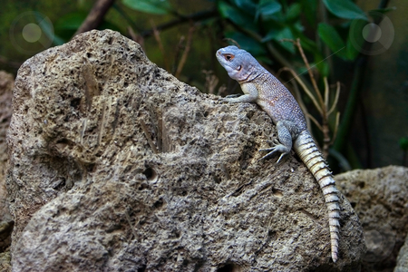 Lizzard on rock stock photo, A Lizzard sitting on a rock. by Paul Hakimata