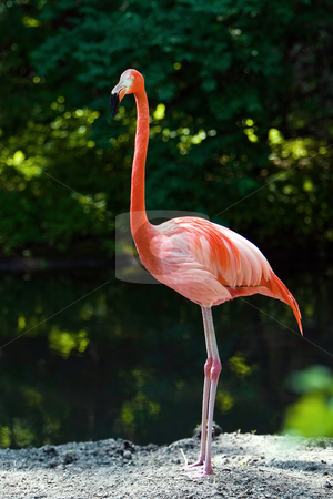 Flamingo stock photo, One Flamongo standing on a rock in the water by Paul Hakimata