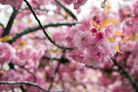 Cherry blossom stock photo, Beautiful pink Cherry blossom of a tree in spring time. by Paul Hakimata
