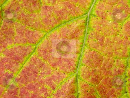 Vineyard leaf macro stock photo, Vineyard leaf macro green and red colored by Laurent Dambies