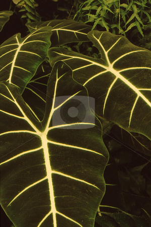 Large leaf with Iridescent Veins stock photo, Large dark green leaf with almost iridescent white veins create and appealing pattern by Joseph Ligori