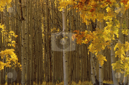Fall aspen trees stock photo, Fall aspen trees with beautiful fall colored leaves and white trunks by Joseph Ligori