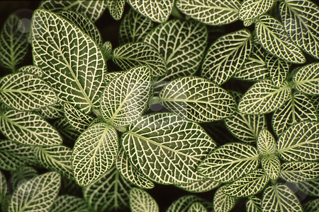 Pattern of leaves stock photo, Dense leaves with brilliant detail in leaves creat a unique and interesting pattern by Joseph Ligori