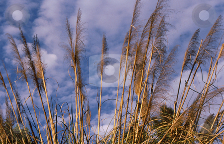 Pompas grass stalks stock photo, Pompas grass stalks of fall against beautiful clouded sky by Joseph Ligori