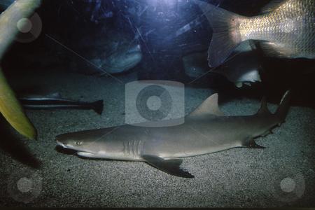 Shark in tank stock photo, Small shark in tank of miscellaneous fish in ocean habitat by Joseph Ligori
