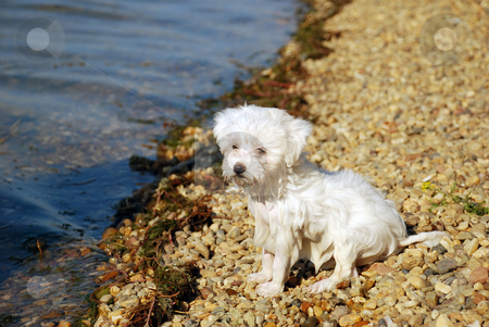 After swimming - little wet dog stock photo, Little white wet dog sitting by water on beach by Julija Sapic