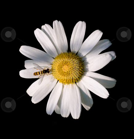 Daisy flower  stock photo, Daisy flower and small bee isolated on black by Laurent Dambies