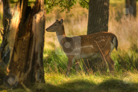 Female Deer stock photo, A female deer walking through the forest by Richard Nelson