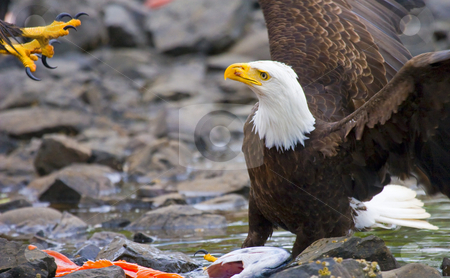 Bald Eagle with salmon dinner stock photo, One Bald Eagle preparing to defend his salmon dinner from another eagle inbound from above. by Mike Dawson