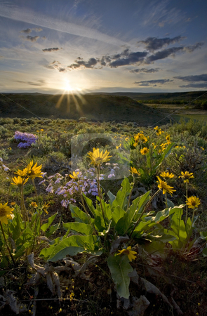 Desert Glory stock photo, Balsamroot and Snowy Phlox dot the colorful desert landscape of Snow Mountain Ranch in the Upper Yakima Valley by Mike Dawson