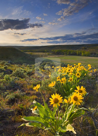 Golden Hills stock photo, The sun sets of the balsamroot blazing a golden path across the foothills of Snow Mountain Ranch in the Upper Yakima Valley by Mike Dawson