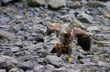 Juvenile Defiance stock photo, A defiant Juvenile Bald Eagle gestures to other eagles on this rocky section of the Sitka, Alaska coast. by Mike Dawson