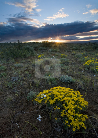 Sunset Kissed stock photo, Narrowleaf Goldenweed glows in the last light of sunset as the sun touches the horizon over Cowiche Mountain in the Yakima Valley by Mike Dawson