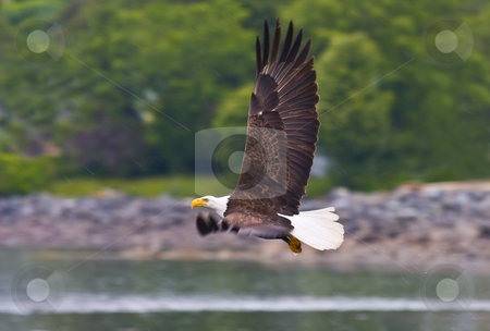 Fishing in the Rain stock photo, A bald eagle rising empty handed from a dive for fish in Sitka harbor in a rain squall. by Mike Dawson