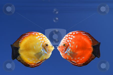 Shy fish stock photo, Shy fish reddening after a kiss - illustration by Serge VILLA