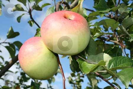 The two rose  apples on the branch. stock photo, The two rose  apples on the branch with green foliage against a blue sky background. by Viachaslau Barysevich