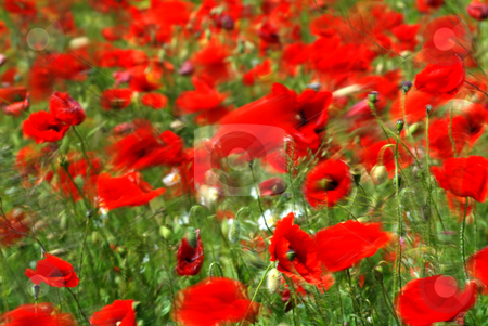 Poppies on green field   stock photo, Poppies on green field in light wind by Csaba Zsarnowszky