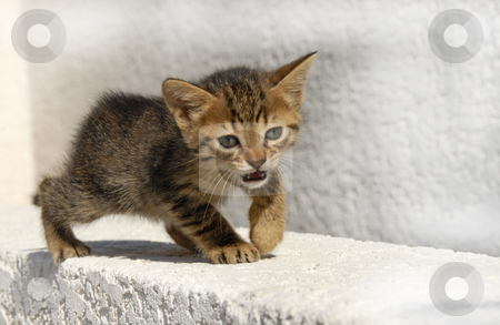 Meowing kitten stock photo, Very young kitten meowing and walking on a grey background by Bonzami Emmanuelle