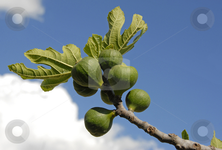 Fig fruits and leaf stock photo, Part of plant of fig tree with fruits  and leafs by Bonzami Emmanuelle