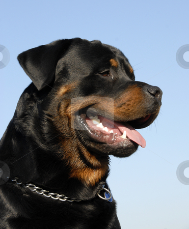 Rottweiler stock photo, Portrait of a beautiful purebred rottweiler: cute watching dog by Bonzami Emmanuelle