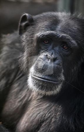 Sad and lonely Chimpanzee stock photo, A sad and lonely Chimpanzee his eyes full of sorrow, sadness and pain by Mark Allchin