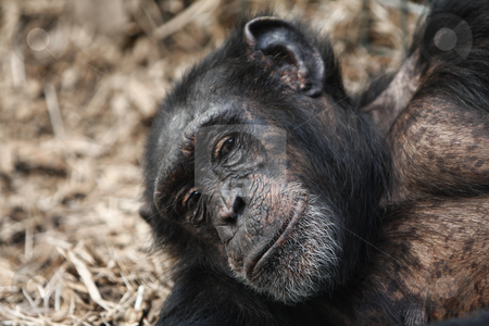 A Chimpanzee with a telling look stock photo, A Chimpanze with a telling look laying back relaxing. by Mark Allchin