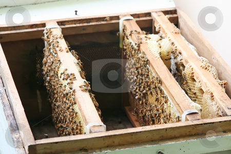 Bees in beehive stock photo, Bees and honeycombs in artificial beehive by Kheng Guan Toh