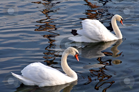 Pair of swans stock photo, A pair of swans swimming together on a lake by Kheng Guan Toh