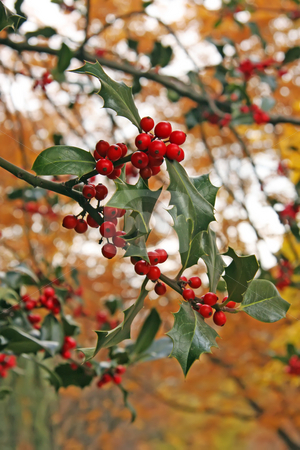 Autumn holly stock photo, Holly berries and leaves golden autum background outdoor setting by Kheng Guan Toh