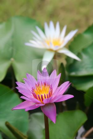 Lotus flower stock photo, Water lotus waterlily aquatic flower plant by Kheng Guan Toh
