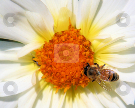 Bee on Daisy stock photo, Honeybee gathering pollen on a white and orange flower by Rosi Berry