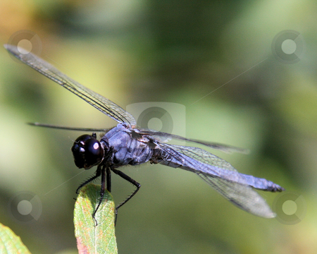 Blue Dragonfly stock photo, Close-up of Blue Dragonfly resting on a leaf by Rosi Berry