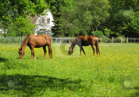 Horses Grazing in Spring Pasture stock photo, Two horses grazing in green pasture in springtime by Rosi Berry