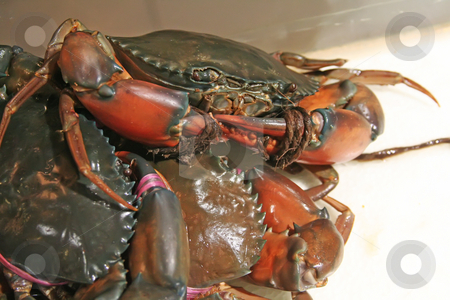 Live crabs stock photo, Live fresh crabs with bound claws ready for cooking by Kheng Guan Toh