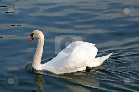 Swimming swan stock photo, A swam simming alone on a lake by Kheng Guan Toh