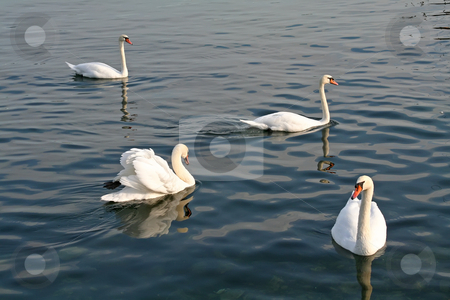 Swans swimming stock photo, Group of swans swimming together on a lake by Kheng Guan Toh