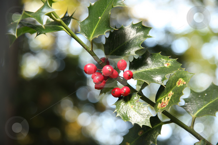 Holly berry and leaves stock photo, Holly berry and leaves in natural outdoor environment by Kheng Guan Toh