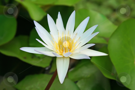 Lotus flower stock photo, Water lotus waterlily aquatic flower plant in pond by Kheng Guan Toh