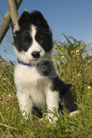 Puppy border collie stock photo, Puppy border collie in a field with flowers by Bonzami Emmanuelle