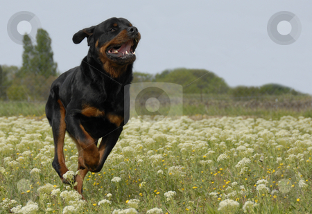 Running rottweiler stock photo, Running purebred rottweiler in a field with flowers, by Bonzami Emmanuelle