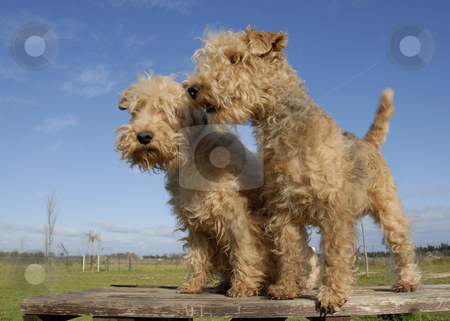 Two  lakeland terrier stock photo, Two purebred lakeland terrier on a table by Bonzami Emmanuelle