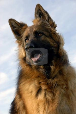 Portrait of a purebred german shepherd stock photo, Portrait of a beautiful purebred german shepherd by Bonzami Emmanuelle