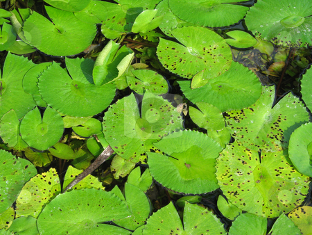 Water lily pads stock photo,  by Mbudley Mbudley