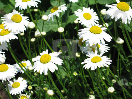 Yellow and white daisies stock photo,  by Mbudley Mbudley