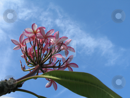 Pink flowers in the blue sky stock photo,  by Mbudley Mbudley