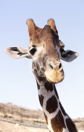 Giraffe hello stock photo, Giraffe closeup of coming over to party to say hello by Joseph Ligori