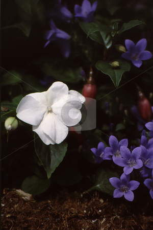 White among color stock photo, White flower standout among beautiful, deep colored blooms by Joseph Ligori