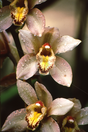 Orchid blooms stock photo, White, yellow and red orchids in pleasing pattern; with water droplets by Joseph Ligori
